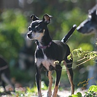 Miniature Pinscher/Chihuahua Mix Dog for adoption in Lavon, Texas - Sassy