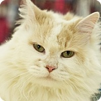 Domestic Longhair Cat for adoption in Great Falls, Montana - Sugar