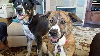 Akita/Labrador Retriever Mix Dog for adoption in Downey, California - Rosie