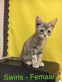 Domestic Mediumhair Kitten for adoption in Waycross, Georgia - Swirls
