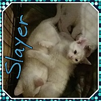 Domestic Shorthair Kitten for adoption in Cedar Springs, Michigan - Slayer
