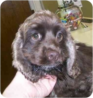 Cocker Spaniel Puppy for adoption in Oak Ridge, New Jersey - Libby