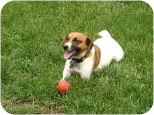 Jack Russell Terrier Dog for adoption in Omaha, Nebraska - Tripaw
