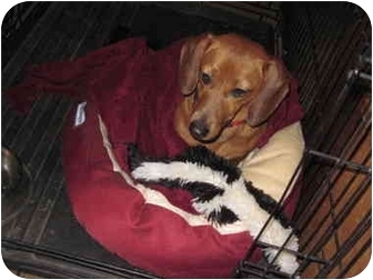 Dachshund Dog for adoption in harrah, Oklahoma - Daisy