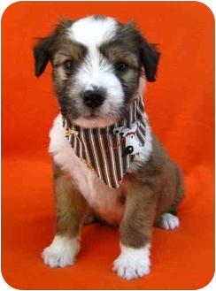 Wheaten Terrier/Border Collie Mix Puppy for adoption in Irvine, California - Aspen