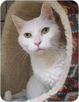 Domestic Shorthair Cat for adoption in Maple Ridge, British Columbia - Alaska - VIDEOS