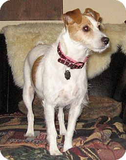 Jack Russell Terrier Dog for adoption in Dallas/Ft. Worth, Texas - Tillie in Dallas