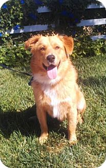 Golden Retriever/Australian Shepherd Mix Dog for adoption in El Cajon, California - Rufus