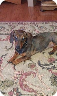 Dachshund Puppy for adoption in Orlando, Florida - Abbey