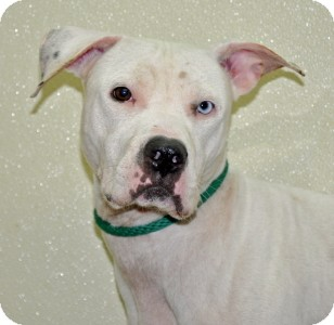 Pit Bull Terrier Dog for adoption in Port Washington, New York - Frost