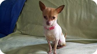 Chihuahua Dog for adoption in Worcester, Massachusetts - Henry