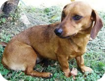 Dachshund Mix Dog for adoption in Buchanan Dam, Texas - QT