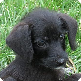 Dachshund/Terrier (Unknown Type, Small) Mix Puppy for adoption in Columbia, Illinois - Squirt