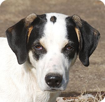 Coonhound/Great Pyrenees Mix Puppy for adoption in Providence, Rhode Island - Dawson