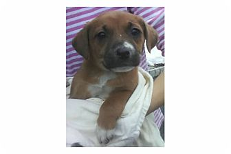 Hound (Unknown Type)/Shepherd (Unknown Type) Mix Puppy for adoption in Pompton Lakes, New Jersey - Muzzy