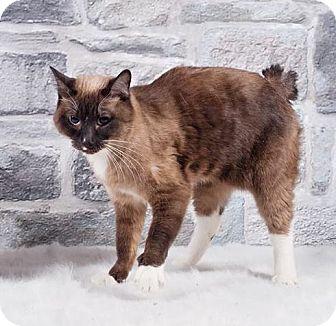 Snowshoe Cat for adoption in Rock Springs, Wyoming - Gabby