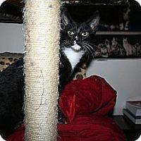 Adopt A Pet :: Cricket - Santa Rosa, CA