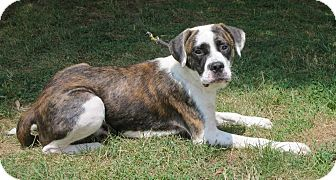 American Bulldog/Boxer Mix Dog for adoption in Elizabeth City, North Carolina - Trent  UPDATE