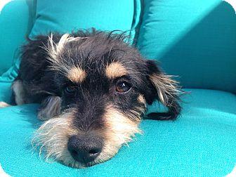 Schnauzer (Miniature)/Terrier (Unknown Type, Medium) Mix Puppy for adoption in Nashville, Tennessee - Nora