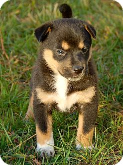 Rottweiler Mix Puppy for adoption in Bedford, Virginia - Moe Stooge