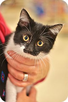 Domestic Shorthair Kitten for adoption in Lombard, Illinois - Duggie