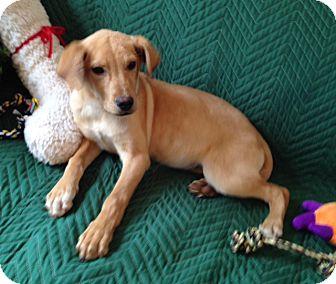 Labrador Retriever/Carolina Dog Mix Puppy for adoption in Mount Ida, Arkansas - Jax