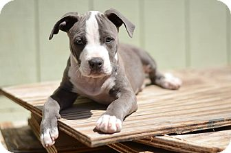 American Pit Bull Terrier/Chihuahua Mix Puppy for adoption in Lincoln, California - Peanut