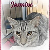 Domestic Mediumhair Cat for adoption in Orange City, Florida - Jasmine