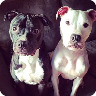 Terrier (Unknown Type, Medium) Mix Dog for adoption in Essington, Pennsylvania - Bailey