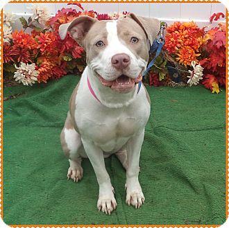 Pit Bull Terrier/Labrador Retriever Mix Dog for adoption in Marietta, Georgia - MONEI