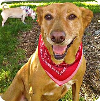Hound (Unknown Type)/Labrador Retriever Mix Dog for adoption in Irvine, California - MOLLY