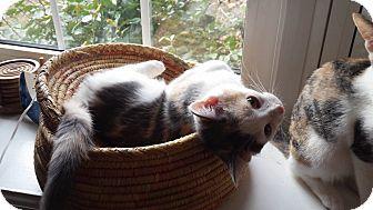 Domestic Shorthair Cat for adoption in Burlington, North Carolina - LAUREL