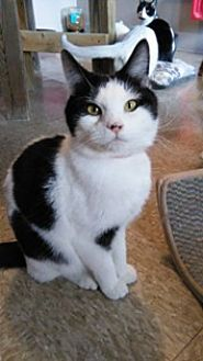 Domestic Shorthair Cat for adoption in Sistersville, West Virginia - Mars