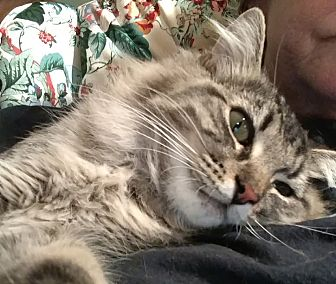 Domestic Mediumhair Cat for adoption in St. Louis, Missouri - Myo