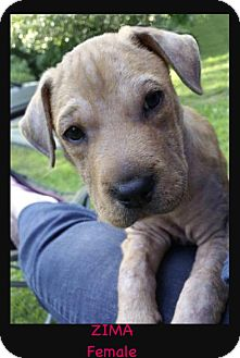 Shepherd (Unknown Type)/Shar Pei Mix Puppy for adoption in East Hartford, Connecticut - Zima meet me 7/21