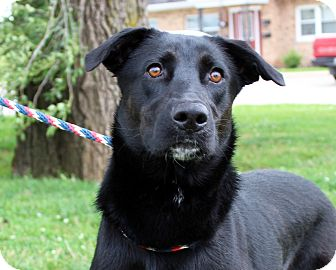 Labrador Retriever Mix Dog for adoption in Martinsville, Indiana - Bailey