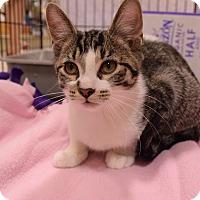Domestic Shorthair Kitten for adoption in Flushing, Michigan - Precious