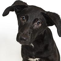 Labrador Retriever/Collie Mix Dog for adoption in Baton Rouge, Louisiana - Junie