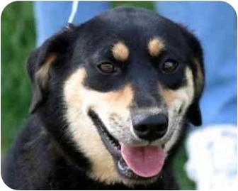 German Shepherd Dog/Beagle Mix Dog for adoption in Millstone, New Jersey - Raven