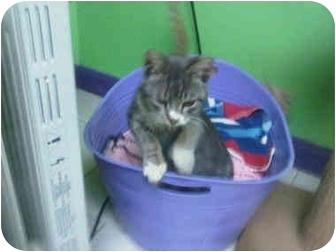 Domestic Shorthair Kitten for adoption in Medford, Massachusetts - Snizzle