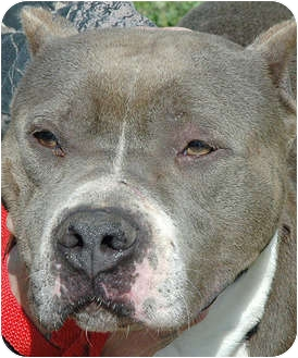 American Pit Bull Terrier Mix Dog for adoption in Ripley, Tennessee - Mr. Grey