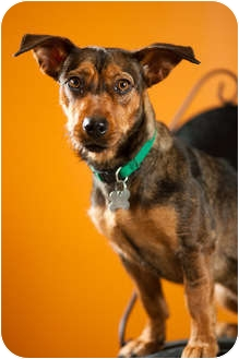 Dachshund/Corgi Mix Dog for adoption in Portland, Oregon - Belinda