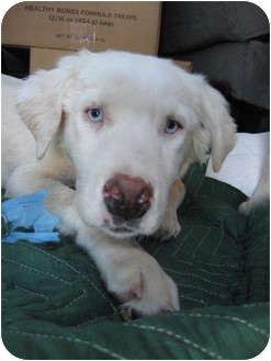 Australian Shepherd Mix Dog for adoption in Mesa, Arizona - Camellia
