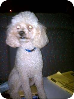 Poodle (Miniature) Dog for adoption in Council Bluffs, Iowa - Wally