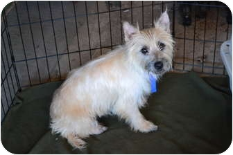 Cairn Terrier Dog for adoption in Davison, Michigan - Princess