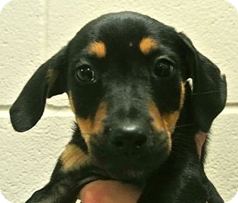 Rottweiler/Shepherd (Unknown Type) Mix Puppy for adoption in white settlment, Texas - Vic