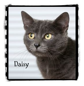 Domestic Shorthair Cat for adoption in Warren, Pennsylvania - Daisy