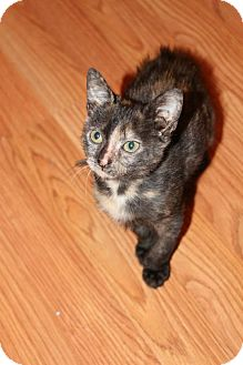 Domestic Mediumhair Kitten for adoption in New Orleans, Louisiana - French Toast