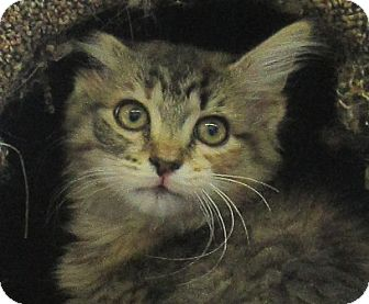 Domestic Longhair Kitten for adoption in Lloydminster, Alberta - Veronica