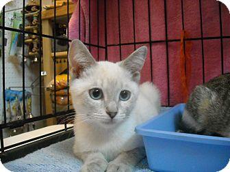 Siamese Kitten for adoption in Arlington, Virginia - Snow (Purr machine!)